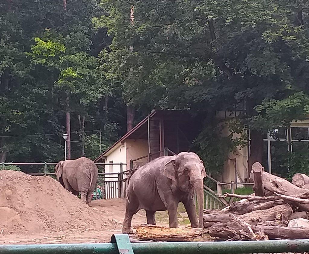 Zdjęcie ukazuje dwa słonie w swoim wybiegu.